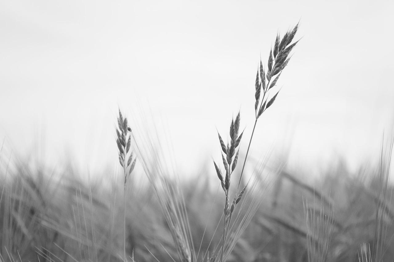 wheat-776783_1280